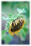 sunfrower.jpg